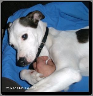 LAURA femelle croisée Lévrier et Dogue Argentin de 3 ans  Laura--co--03-petit-26b30c3