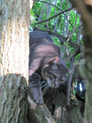 Spider chat tigré gris mâle FIV+ de 08/2005 - dpt 56 Img_1013-278e684